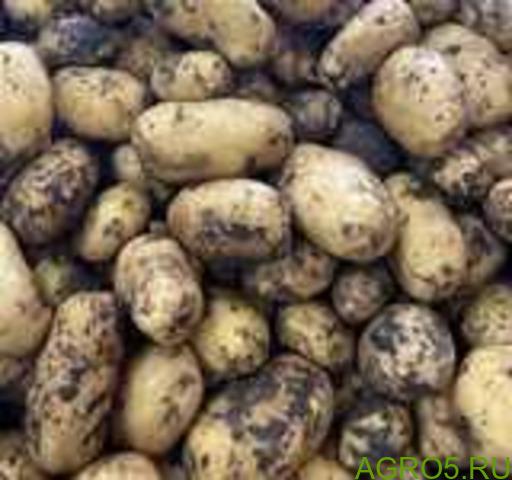 Картофель в Истре