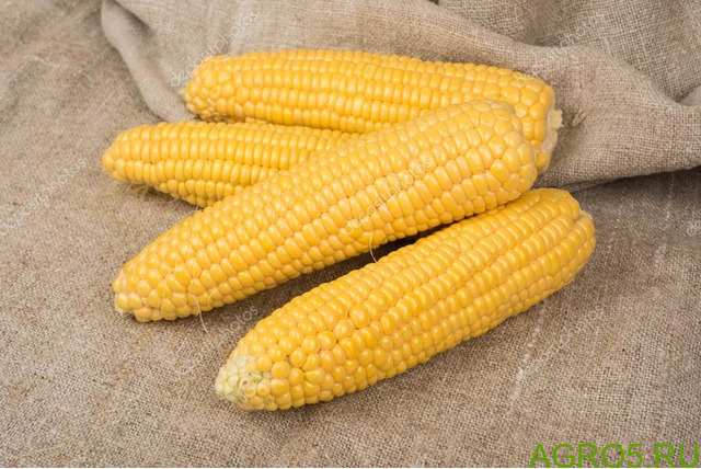 Сахарная кукуруза в Павловске