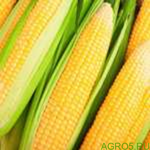 Сахарная кукуруза в Борисоглебске