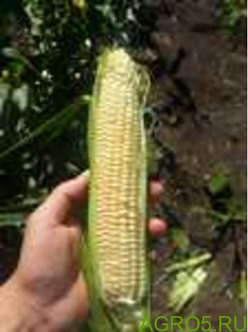 Сахарная кукуруза в Омске