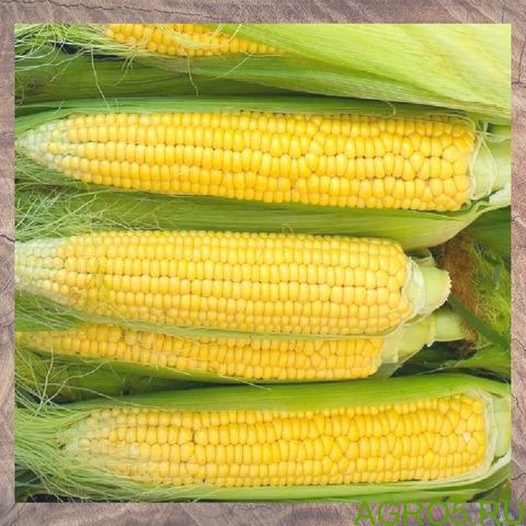 Сахарная кукуруза в Калуге