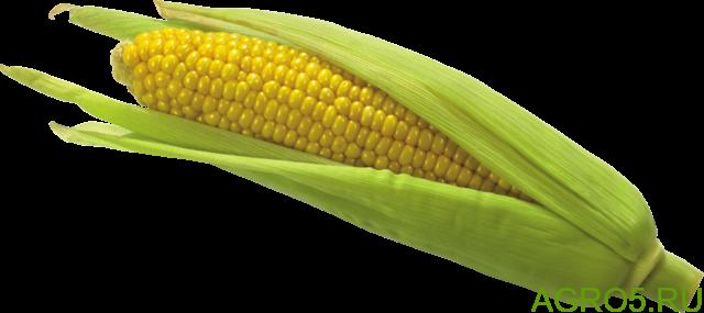 Сахарная кукуруза в Курске