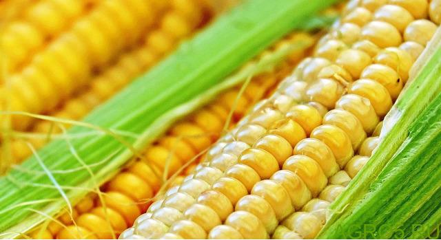 Сахарная кукуруза в Пущино