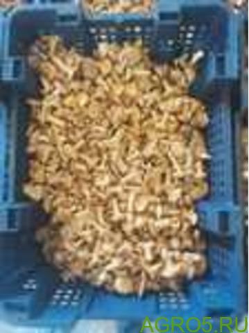 Замороженные лисички