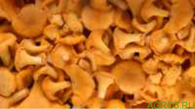 Грибы лисички оптом бн отсрочка