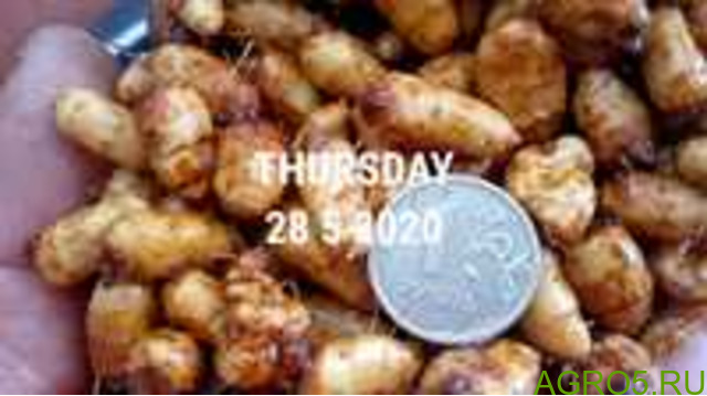 Орех Чуфа, миндальный, продовольственный и рыболовный