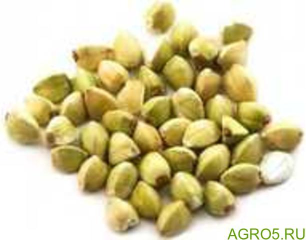 Зеленая гречка, зерно
