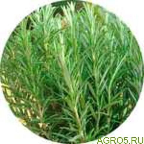 Розмарин трава резаная