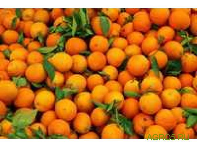 Апельсины Сорт Валенсия высокого качества