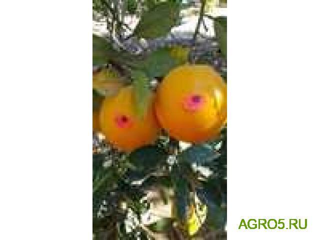 Апельсины Валенсия от производителя