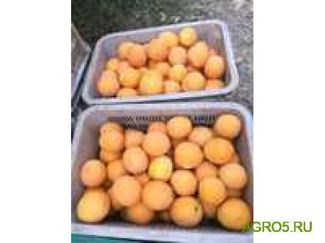 Апельсины Марокко сезон 2020