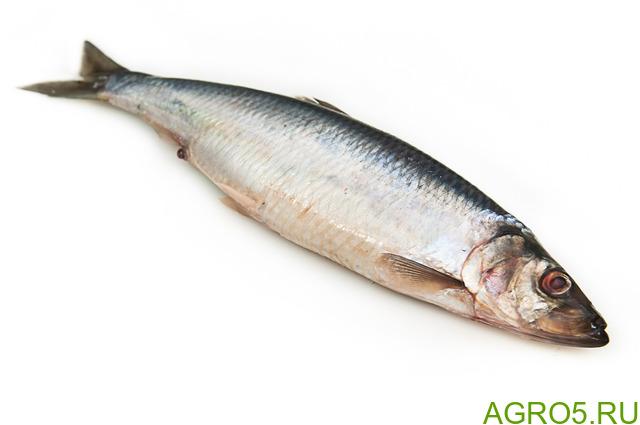 Продам рыбу с/м сельдь, Тихоокеанка вылов