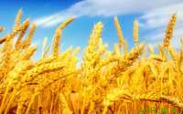 Реализуем пшеницу