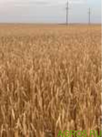 Пшеница 3-4 класс