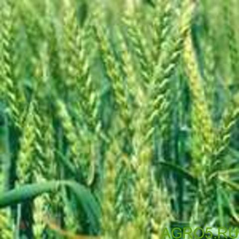 Семена озимой пшеницы Скипетр ЭС