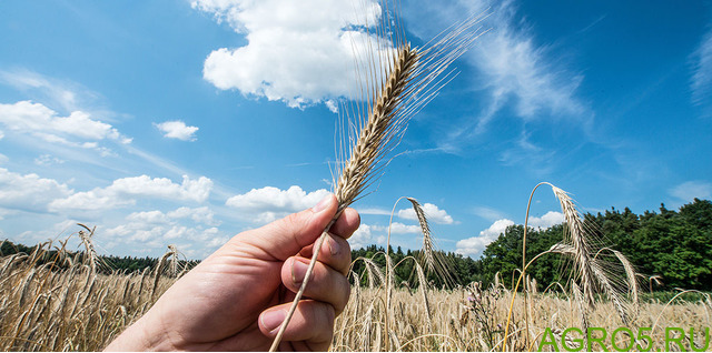 Продам семена озимая рожь - сорт ЯНТАРНАЯ (ОС-РС)