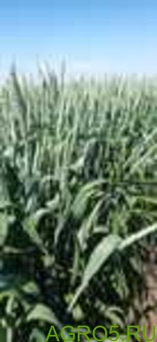 """Семена озимой пшеницы """"Юка"""" ОТ ПРОИЗВОДИТЕЛЯ"""