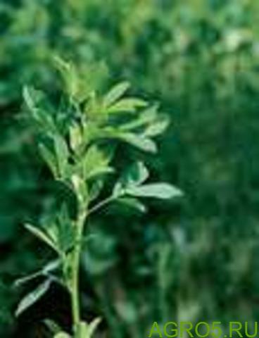 Люцерна Alfalfa PRO cемена (alfalfapro)