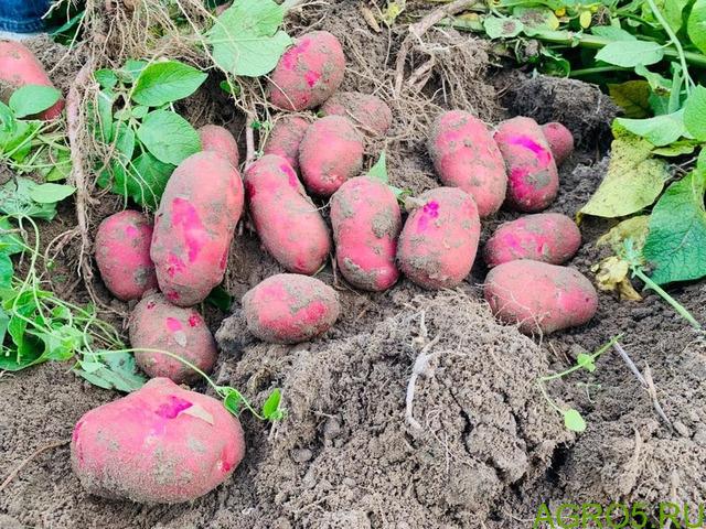 Картофель свежий с поля, урожай 2020 г