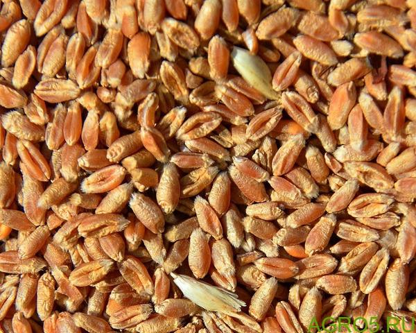 Пшеница, урожай 2020 года