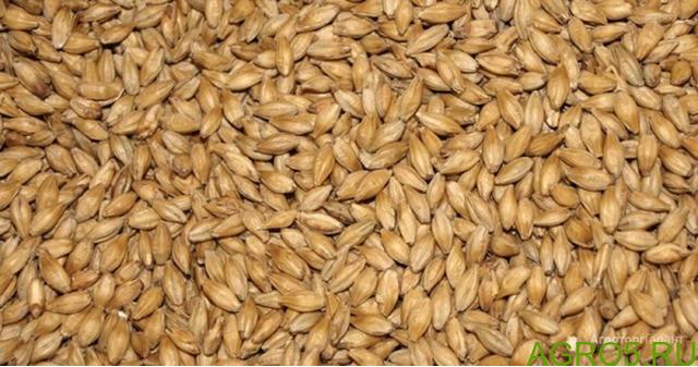 Пшеница 3й класс