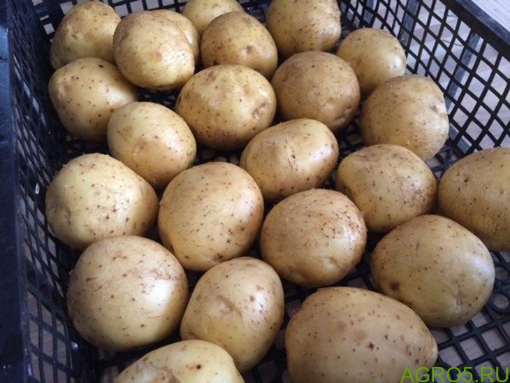 Молодой картофель опт 2020 сорт Коломбо