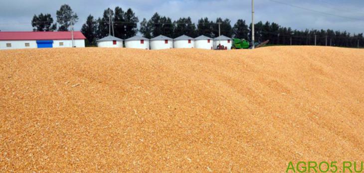 Зерно пшеницы