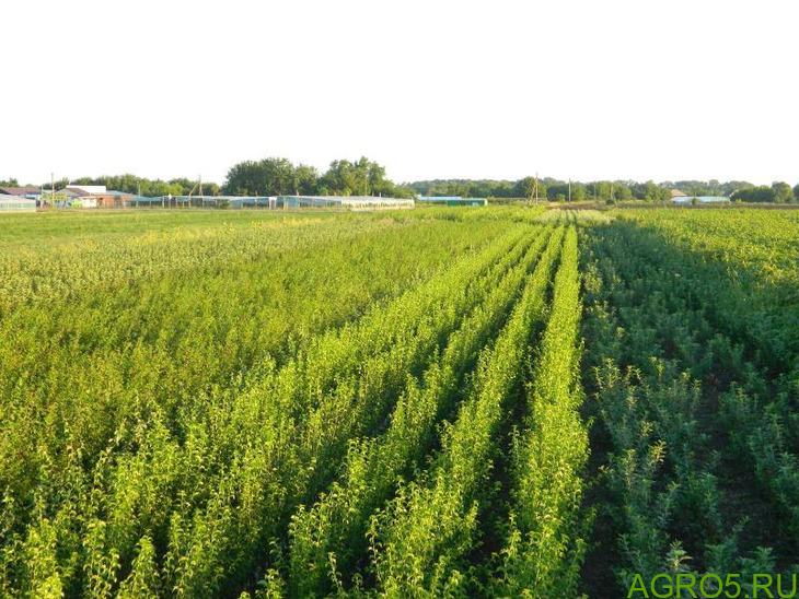 Саженцы плодовых деревьев оптом и в розницу