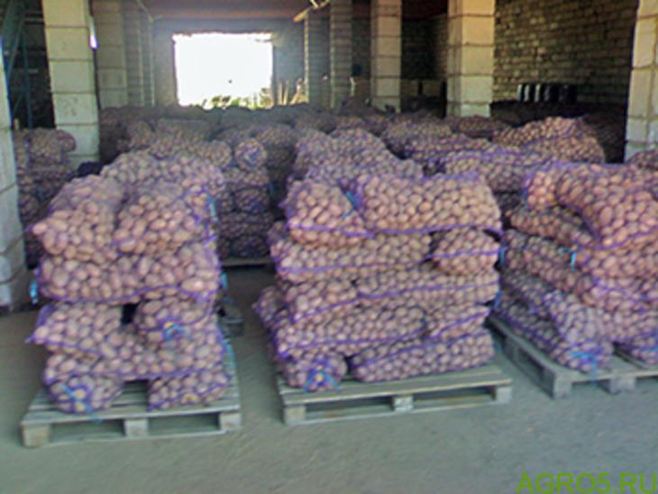 Картофель беллароза с доставкой оптом