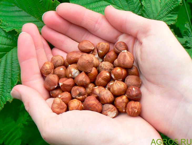 Продам Орех Фундук (Грузия) урожай 2020