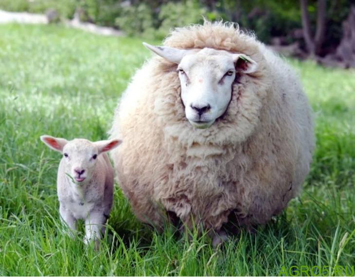овечьей шерсти оптом