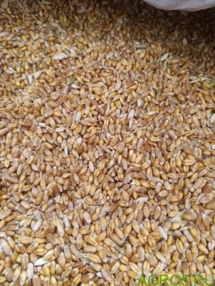пшеница цена 11 руб продам