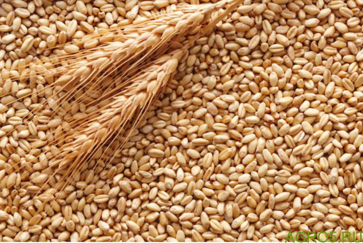 продам пшеницу фуражную