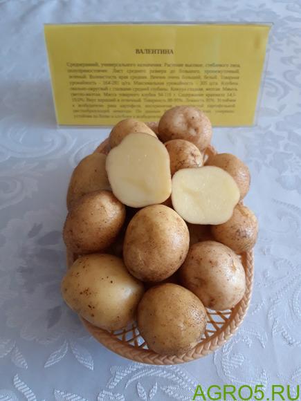 """Семена картофеля сорт """"ВАЛЕНТИНА"""" репродукция Супер Элита"""