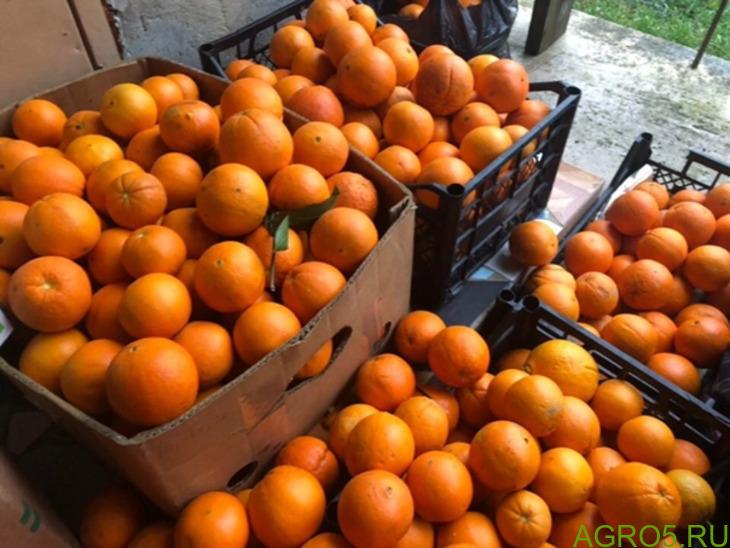 Апельсины из Абхазии